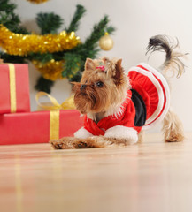 toy terrier playing on Christmas tree background