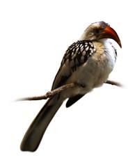 hornbill over white background