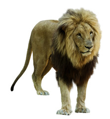 Adult male lion. Isolated  on white