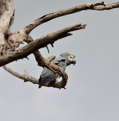 African grey parrot among branches of dry tree