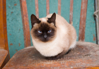 Cute siamese cat with blue eyes