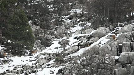 av keçileri&yaban alanı