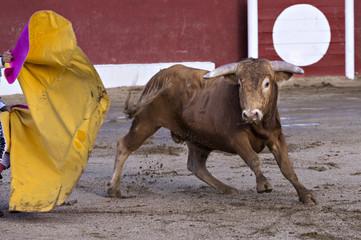 Bull in a bullring