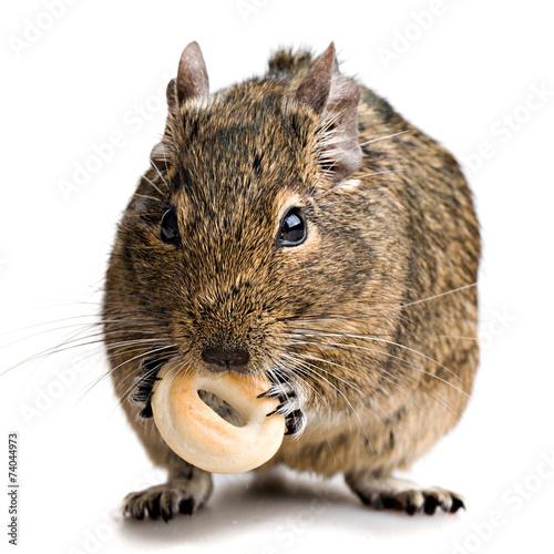 Staande foto Eekhoorn hamster gnawing bake