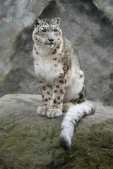 Snow leopard (Panthera uncial). .
