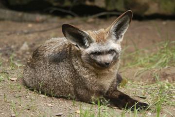Bat-eared fox (Otocyon megalotis).