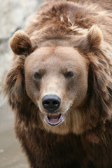 Female Kamchatka brown bear (Ursus arctos piscivorus).
