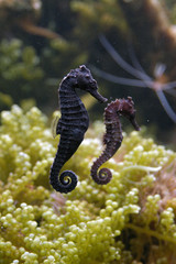 Seahorse (Hippocampus) in an aquarium..