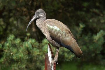 Hadada ibis (Bostrychia hagedash)..