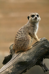 Meerkat (Suricata suricatta), also known as the suricate.