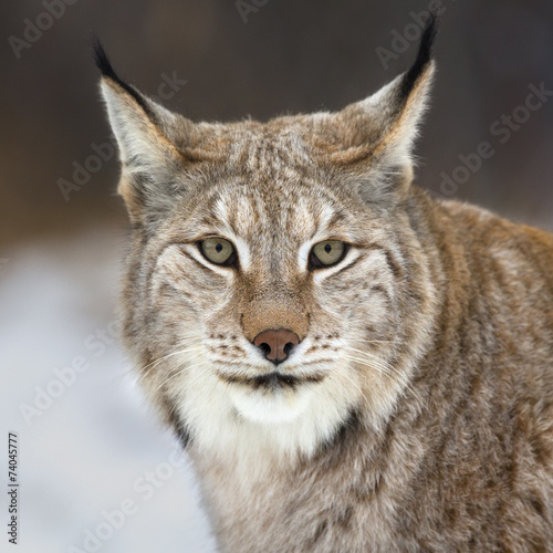 Papiers peints Lynx Lynx looking into camera