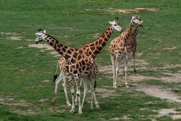Four giraffes (Giraffa camelopardalis). .