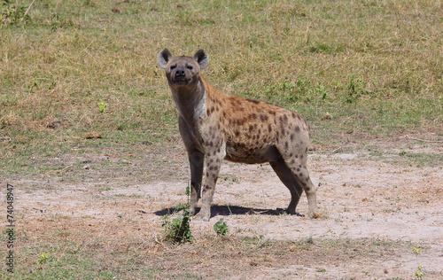 Fotobehang Hyena stehende Hyäne