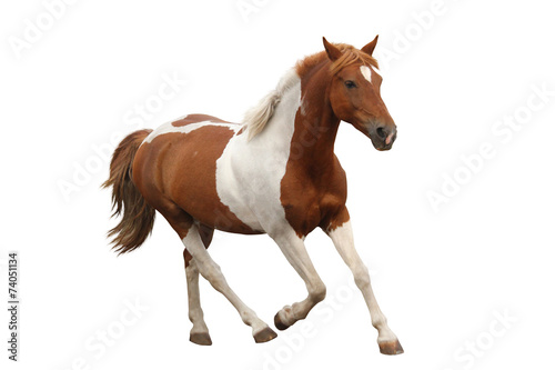 Foto op Canvas Paarden Skewbald pony galloping isolated on white