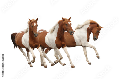 Fototapeta Three skewbald horses galloping isolated