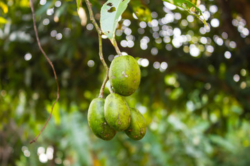 Fresh green olive fruit on tree (elaeocarpus)