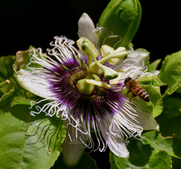 A bee over a Passion Flower
