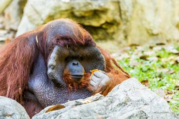 orangutan in chiangmai zoo chiangmai Thailand