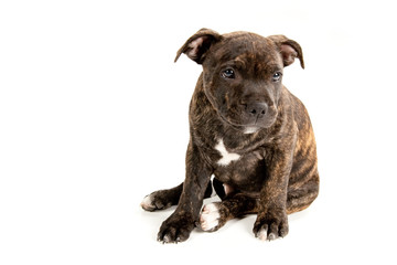Dog - Staffordshire Bull Terrier, white isolated background