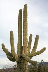 Saguaro Close-Up