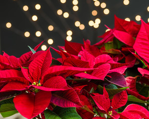 Red poinsettia flowers in bloom dark background