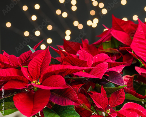 Red poinsettia flowers in bloom dark background - 74061715