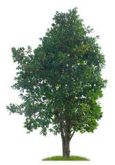 Stechpalme mit Früchten als Freisteller vor weißem Hintergrund