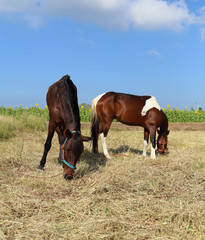 Horses grazing grass