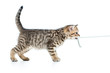 canvas print picture - playful kitten cat pulls cord isolated on white