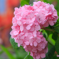 Hydrangea common names hydrangea or hortensia (Hydrangea macroph
