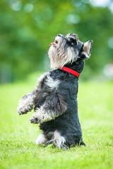 Miniature schnauzer dog standing on its hind legs