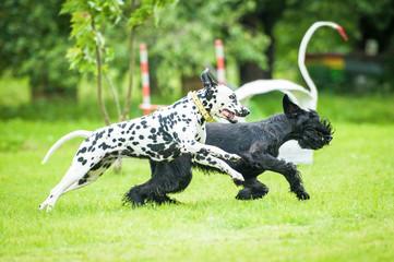 Dalmatian dog playing with giant schnauzer dog