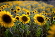 canvas print picture - tournesol