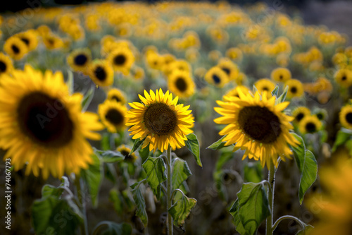 canvas print picture tournesol