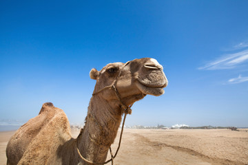 smile of camel