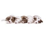 Five border collie puppy dogs in a row - 74070938