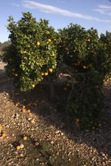 campo de naranjas 1