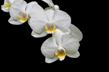 blooming orchid branch isolated on black background close-up