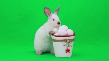 easter rabbit on the green screen