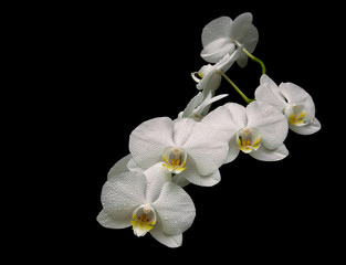 beautiful white orchid branch isolated on black background close