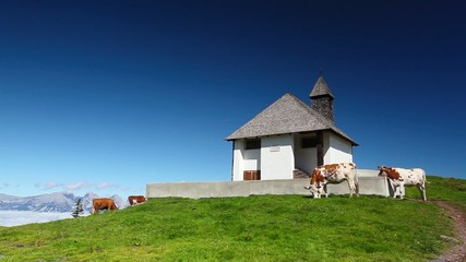 White and brown cows in the mountain pastures near the chapel