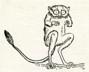 Tarsius, small primate