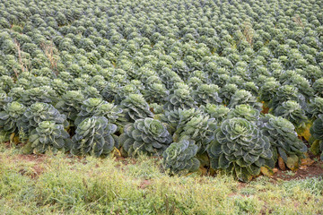 Brussel Sprouts crop growing on an English farm
