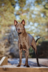 beautiful thai ridgeback dog in winter