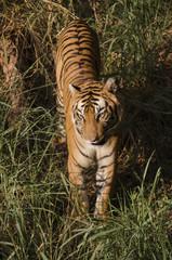 Adult Royal Bengal Tiger