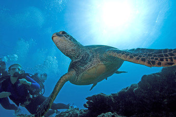 Hawaii Turtle Swimming