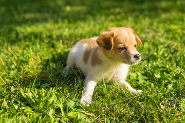 Puppy laying and posing on the grass