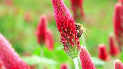 Crimson clover flower and bee