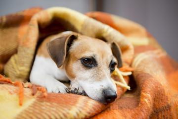 Cute little dog lies nestled warm soft blanket.