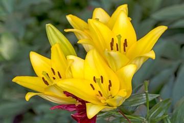 Nature yellow lilies
